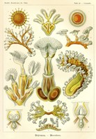 Bryozoa - Scheiben-Strahlinge - Heliodiscus by Print Collection - various sizes, FulcrumGallery.com brand