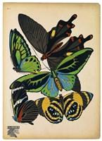 Butterflies Plate 1 Fine Art Print
