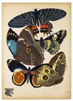Butterflies Plate 10 Fine Art Print
