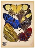 Butterflies Plate 12 Fine Art Print