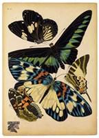 Butterflies Plate 16 Fine Art Print