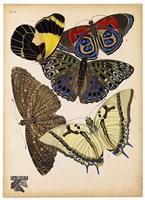 Butterflies Plate 3 Framed Print