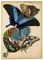 Butterflies Plate 4 Framed Print