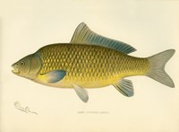 Carp by Print Collection - various sizes