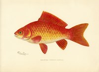 Goldfish by Print Collection - various sizes - $45.99