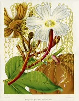 Hodgsonia Heteroclita by Print Collection - various sizes - $39.99