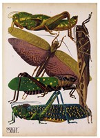 Insects, Plate 16 by E.A. Seguy - various sizes