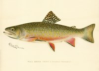 Male Brook Trout Fine Art Print