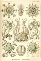 Narcomedusae - Scheiben-Strahlinge - Heliodiscus by Print Collection - various sizes
