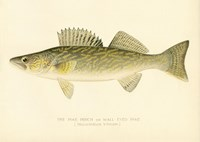 Pike Perch by Print Collection - various sizes