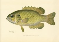 Rock Bass Fine Art Print