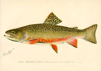 The Brook Trout Fine Art Print