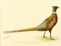 The Mongolian or Ring-Necked Pheasant Fine Art Print