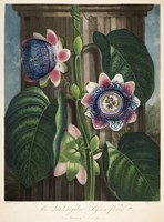 The Quadrangular Passion-Flower by Print Collection - various sizes
