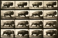 Buffalo Running, Animal Locomotion Plate 700 Fine Art Print