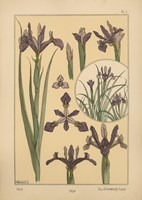 Plate 01 - Iris by Vintage Apple Collection - various sizes