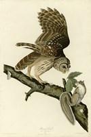 Barred Owl by John James Audubon - various sizes - $43.49