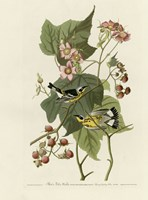 Black And Yellow Warblers Fine Art Print