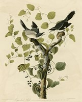 Loggerhead Shrike by John James Audubon - various sizes