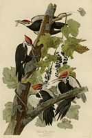 Pileated Woodpecker by John James Audubon - various sizes