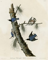 Whitebreasted Black Capped Nuthatch by Vintage Apple Collection - various sizes