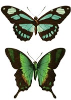 Aqua Butterflies by Vintage Apple Collection - various sizes