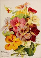 Nasturtium by Vintage Apple Collection - various sizes