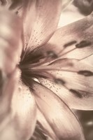 Alabaster Pink Fine Art Print