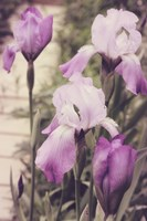 Irises by Mindy Sommers - various sizes