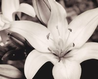 White Stargazer by Mindy Sommers - various sizes