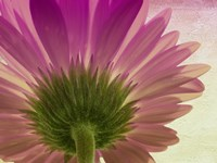 pink daisy by Mindy Sommers - various sizes