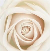 Dawn Rose Fine Art Print