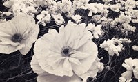 White Poppy Field by Mindy Sommers - various sizes