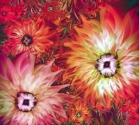 Fire Asters by Mindy Sommers - various sizes
