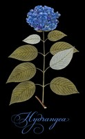 Hydrangea by Mindy Sommers - various sizes