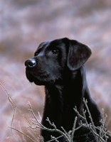Black Lab by John Silver - various sizes