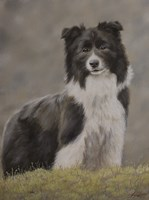 Border Collie 10 by John Silver - various sizes