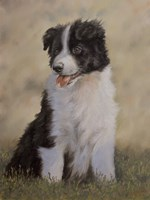 Border Collie 12 by John Silver - various sizes
