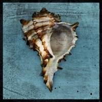 Horned Whelk by John W. Golden - various sizes