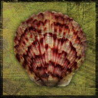 Scallop by John W. Golden - various sizes