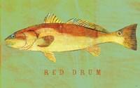 Red Drum Framed Print