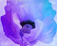 Poppy Gradient IV Fine Art Print