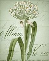 Allium I Fine Art Print