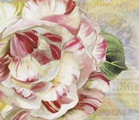 Camellias II Fine Art Print