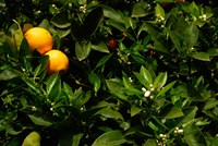 Orange Tree, Tenerife, Canary Islands, Spain Fine Art Print