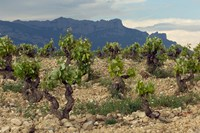 Vineyard along the San Vicente to Banos de Ebro Road, La Rioja, Spain Fine Art Print