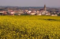 Yellow mustard flowers, Elvillar Village, La Rioja, Spain Fine Art Print