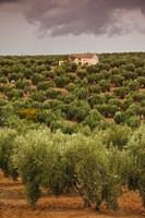 Olive Groves, Jaen, Spain Fine Art Print