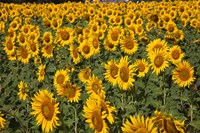 Spain, Andalusia, Cadiz Province Sunflower Fields Fine Art Print