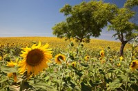 Spain, Andalusia, Cadiz Province Trees in field of Sunflowers by Julie Eggers - various sizes